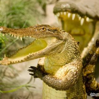 Крокодилы картинки смешные и прикольные (1)