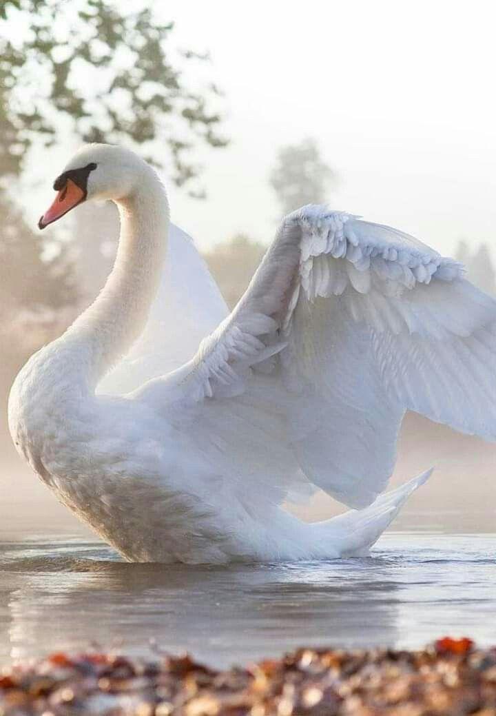 Лебеди красивые картинки и фото (1)