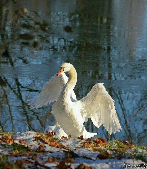 Лебеди красивые картинки и фото (11)