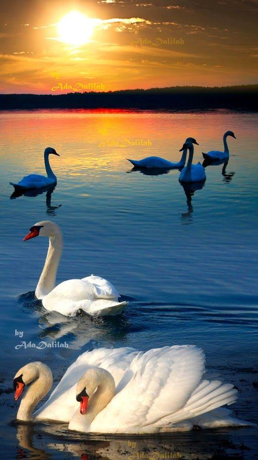 Лебеди красивые картинки и фото (13)
