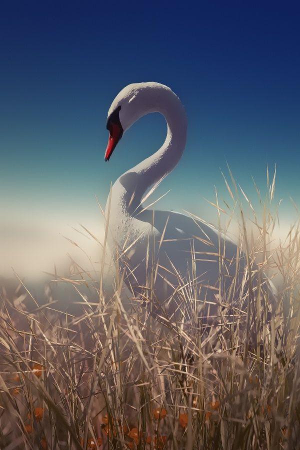 Лебеди красивые картинки и фото (15)