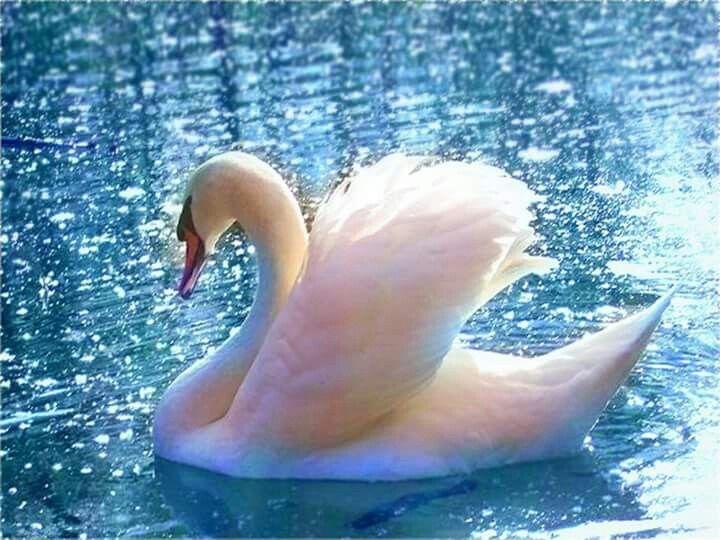 Лебеди красивые картинки и фото (16)