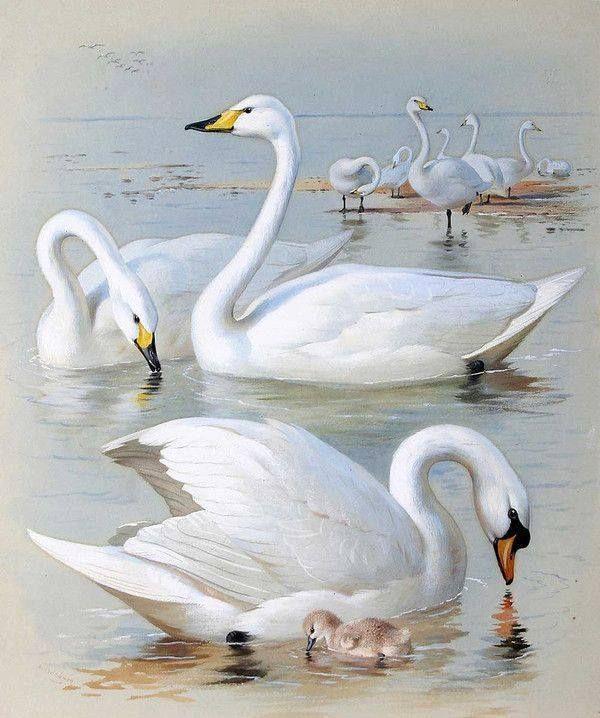 Лебеди красивые картинки и фото (18)