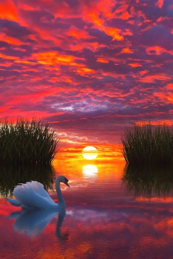 Лебеди красивые картинки и фото (19)
