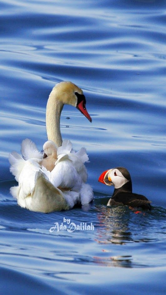 Лебеди красивые картинки и фото (21)