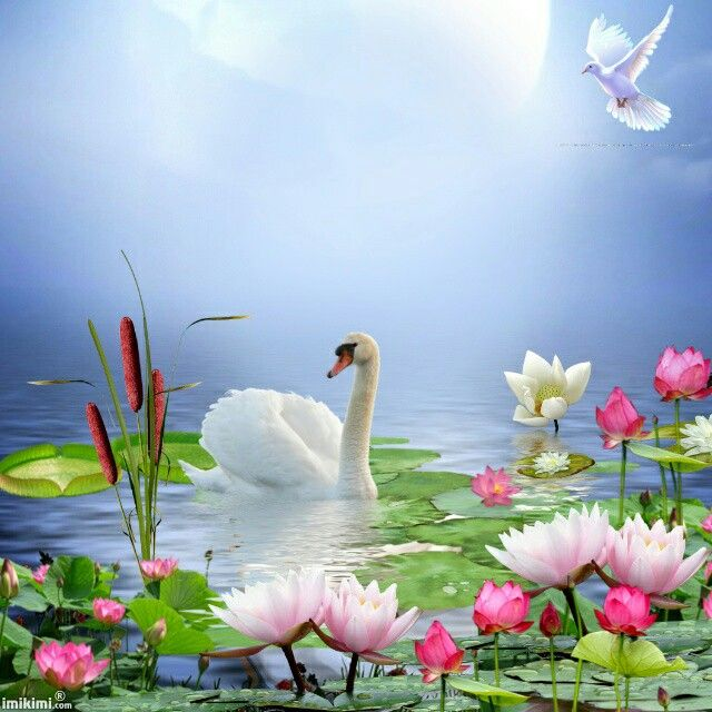 Лебеди красивые картинки и фото (22)