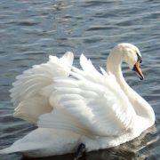Лебеди красивые картинки и фото (23)