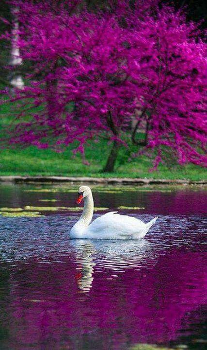 Лебеди красивые картинки и фото (24)