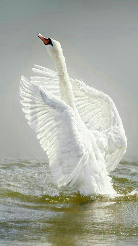 Лебеди красивые картинки и фото (27)
