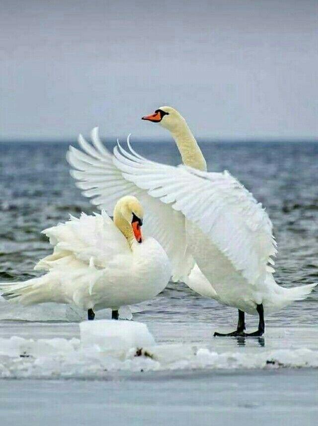 Лебеди красивые картинки и фото (3)