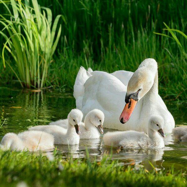 Лебеди красивые картинки и фото (30)