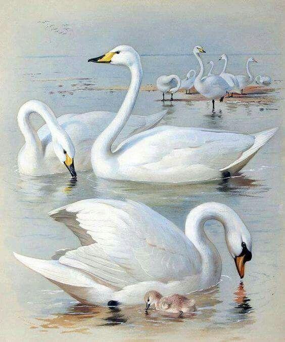 Лебеди красивые картинки и фото (5)