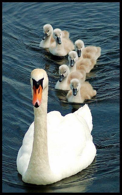 Лебеди красивые картинки и фото (6)