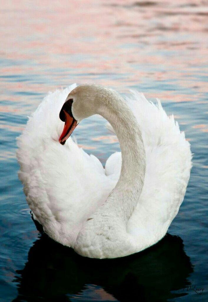 Лебеди красивые картинки и фото (7)