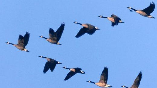 Летящие гуси   красивые картинки (22)