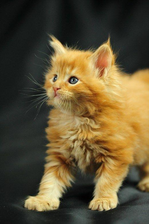 Милые кошки пушистые - 20 фото (12)