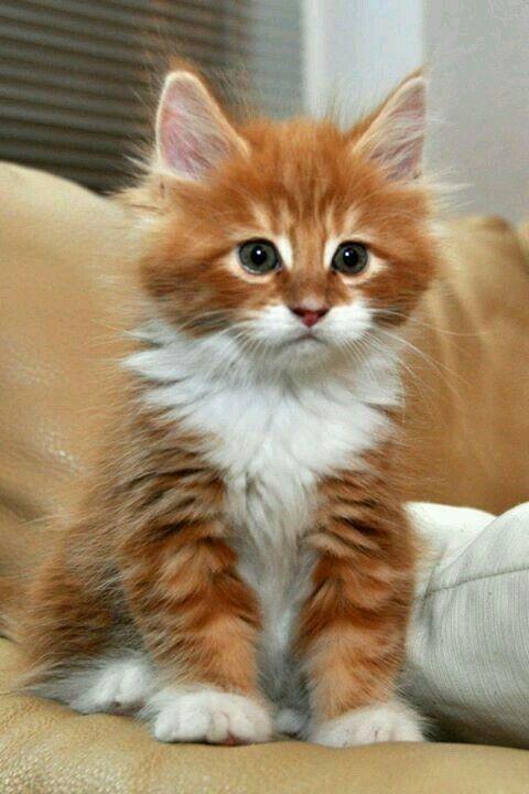 Милые кошки пушистые - 20 фото (14)