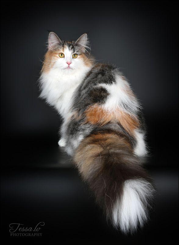 Милые кошки пушистые - 20 фото (16)