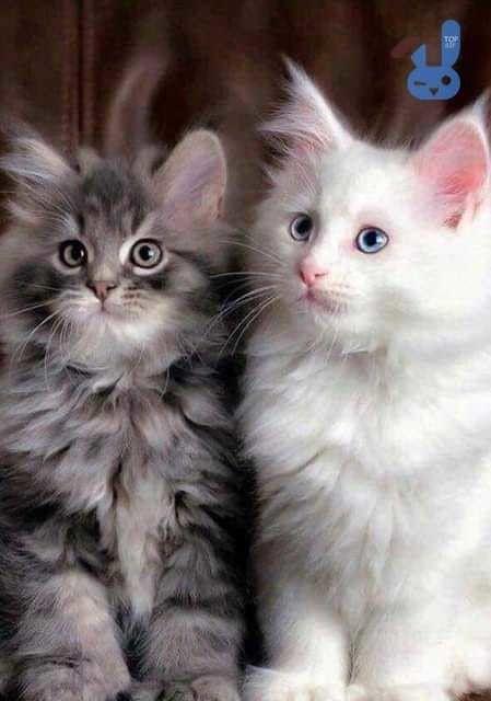 Милые кошки пушистые - 20 фото (2)