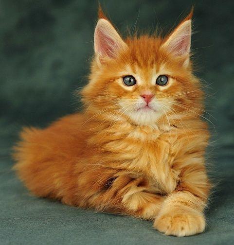 Милые кошки пушистые - 20 фото (20)