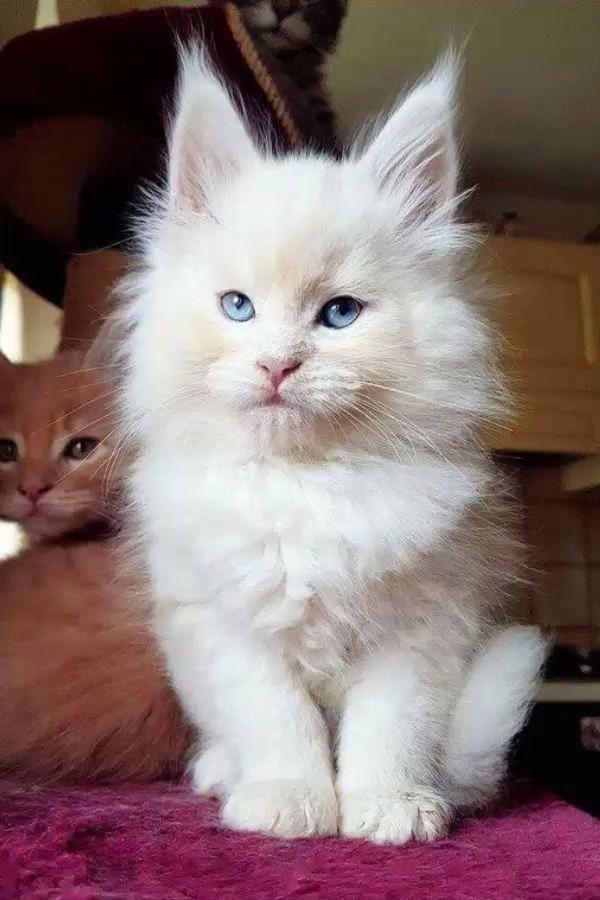 Милые кошки пушистые - 20 фото (4)