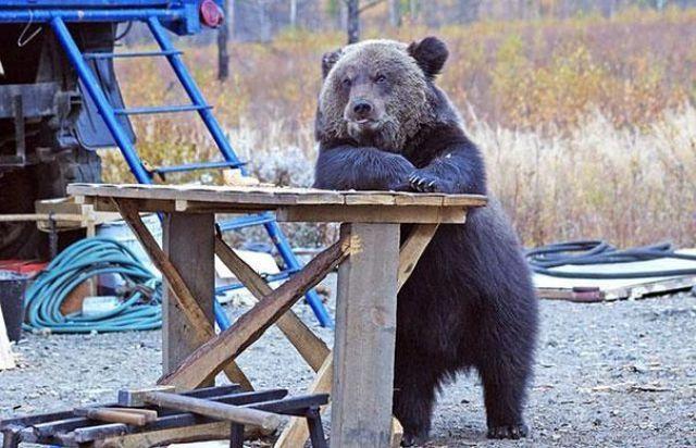 Смешные картинки с медведями - подборка (12)