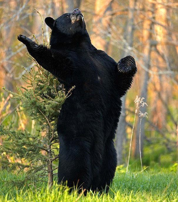 Смешные картинки с медведями - подборка (2)