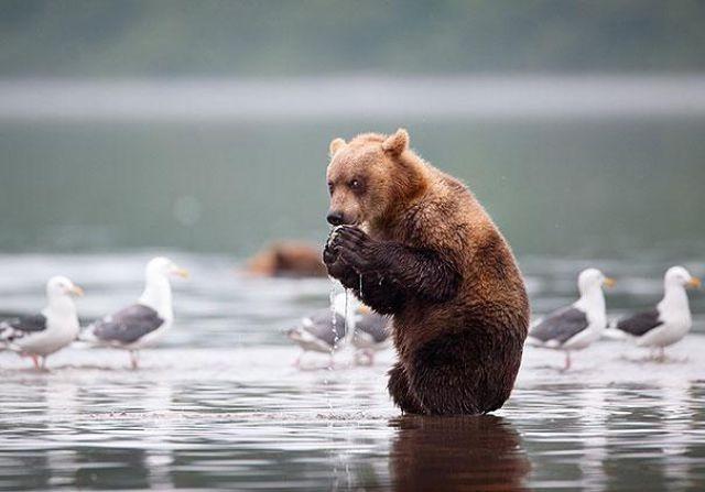 Смешные картинки с медведями - подборка (20)