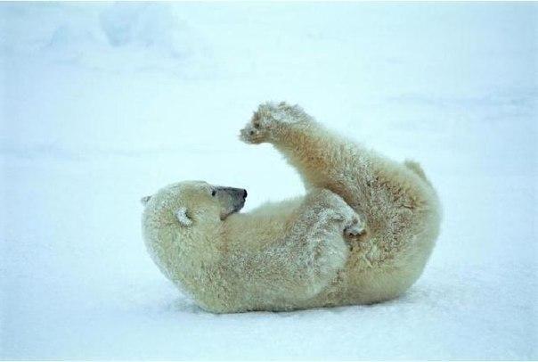 Смешные картинки с медведями - подборка (21)