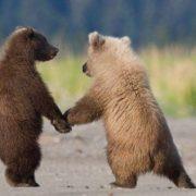 Смешные картинки с медведями   подборка (22)