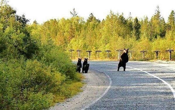 Смешные картинки с медведями - подборка (9)