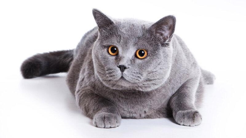 Типичные болезни британских кошек (1)