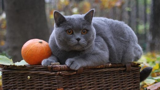 Типичные болезни британских кошек (2)