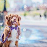 Как приучить собаку не тянуть поводок?