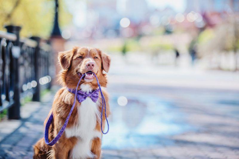 Как приучить собаку не тянуть поводок 2