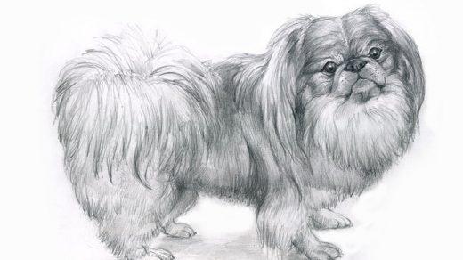 Как рисовать пекинеса   красивые идеи в картинках (7)