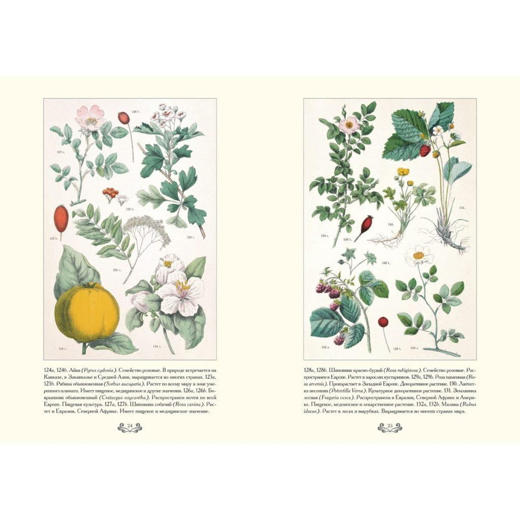 Картинки ботанический атлас растений024