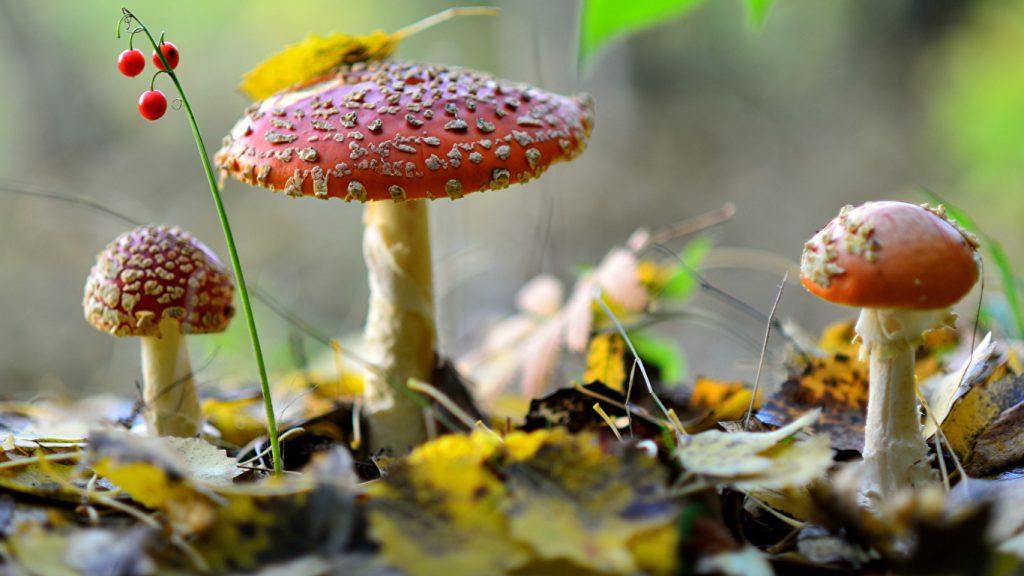Картинки осень грибы на рабочий стол на весь экран (1)