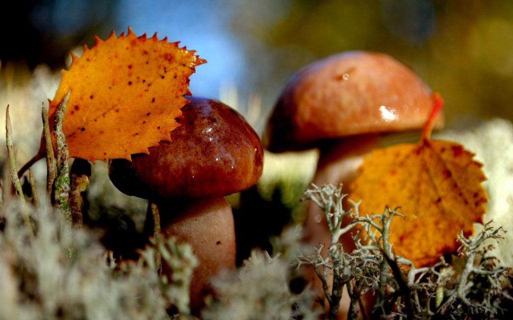 Картинки осень грибы на рабочий стол на весь экран (20)