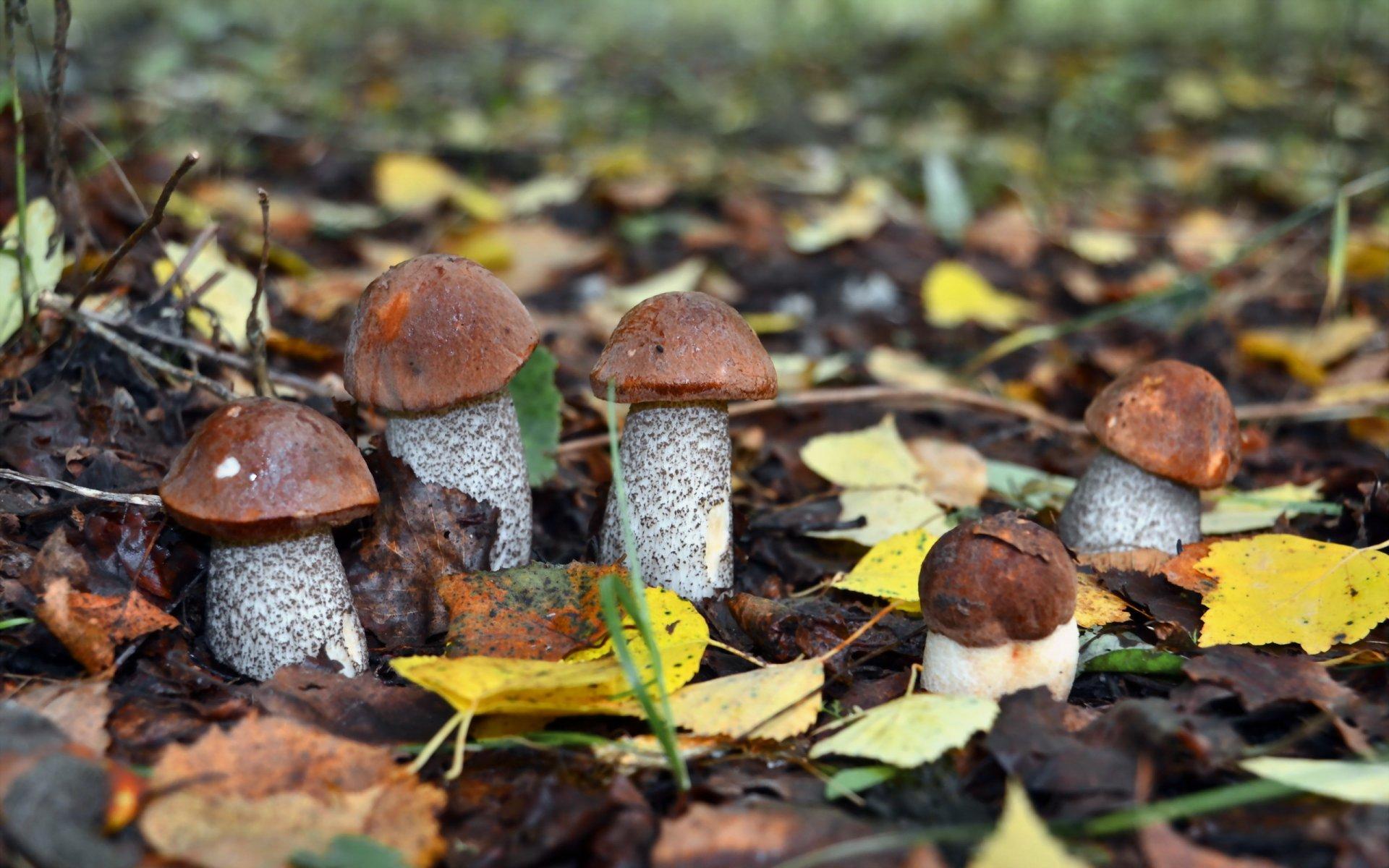 Обои на рабочий стол осень лес грибы