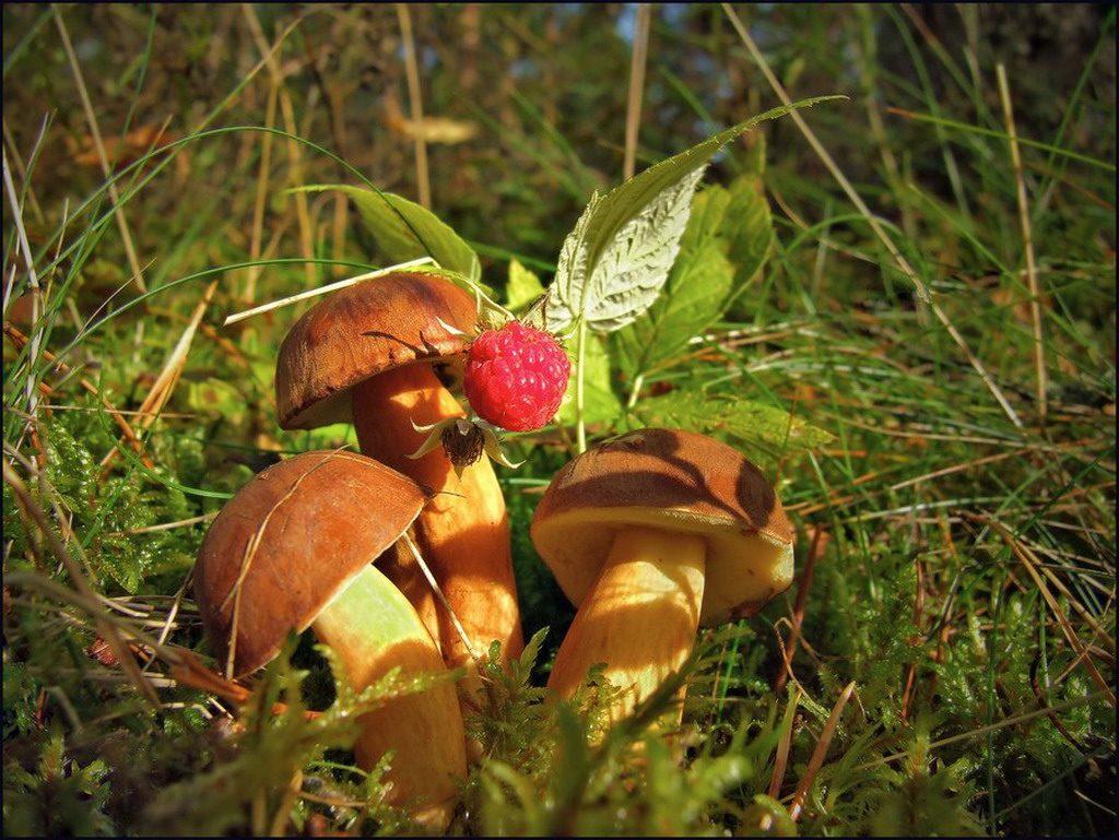 Картинки осень грибы на рабочий стол на весь экран (7)