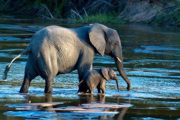 Красивые картинки на всемирный день защиты слонов (2)