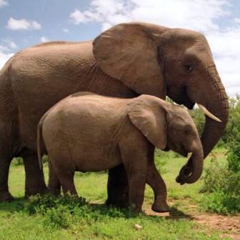 Красивые картинки на всемирный день защиты слонов (8)