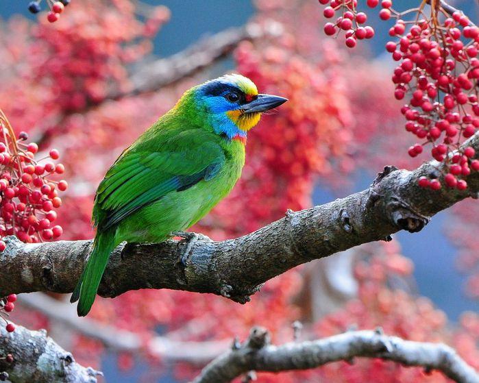 Красивые картинки сказочные птички (12)