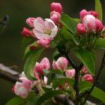 К чему яблоня зацвела в сентябре — приметы, значение
