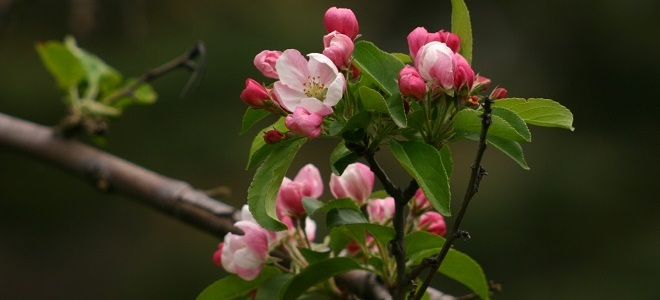 К чему яблоня зацвела в сентябре   приметы, значение