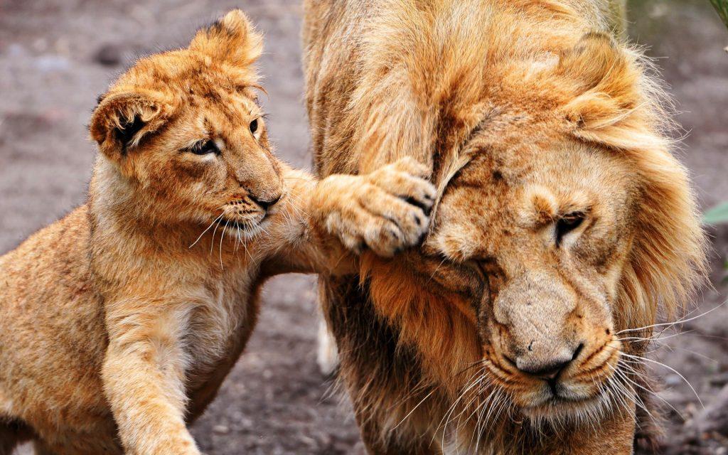Львы на рабочий стол красивые картинки - подборка (10)