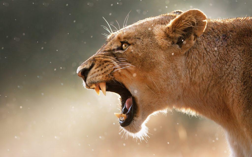 Львы на рабочий стол красивые картинки - подборка (16)