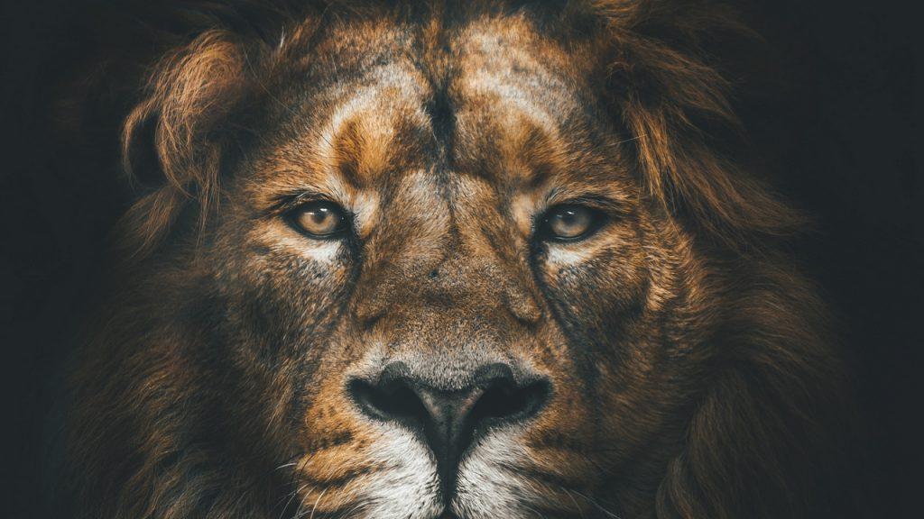 Львы на рабочий стол красивые картинки - подборка (19)