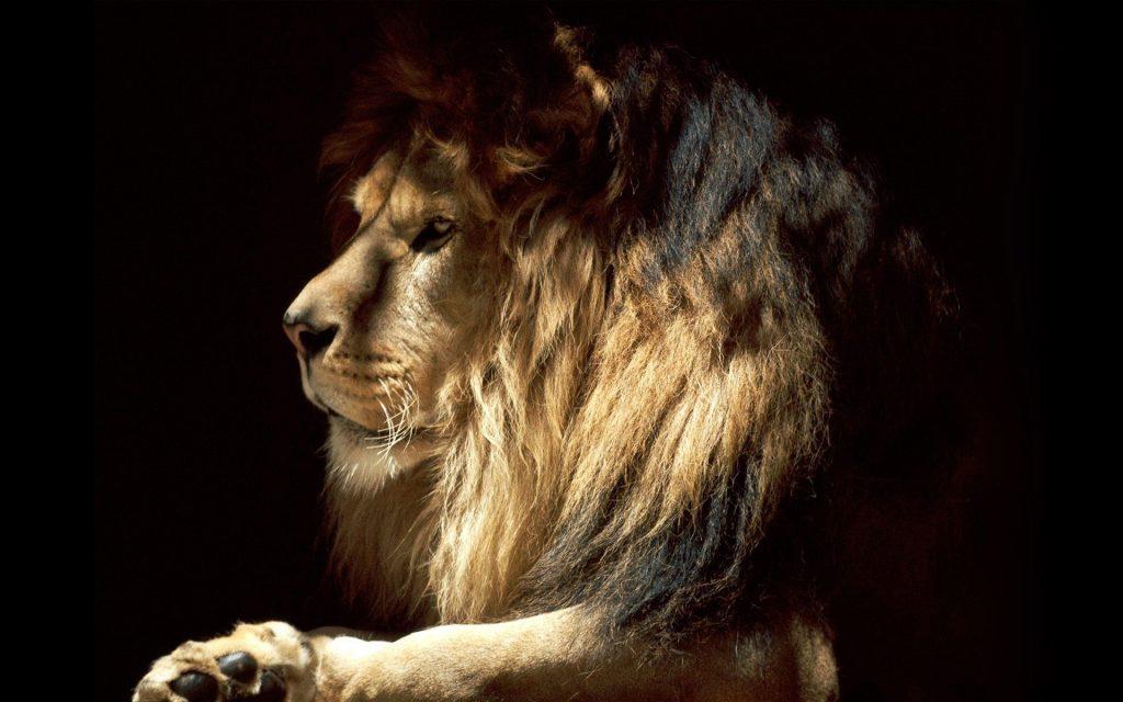 Львы на рабочий стол красивые картинки - подборка (5)